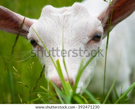 White goat, meadow, grass.