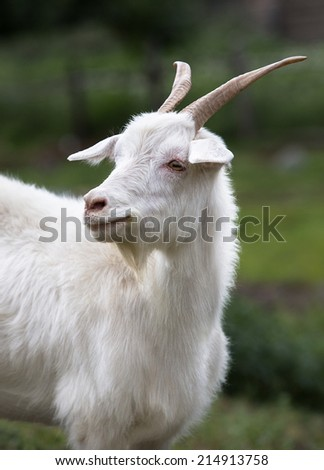 White goat on a background of grass. Symbol of the new year on the eastern calendar, year goat