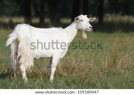 White goat on a beautiful domestic on a summer pasture of green grass background