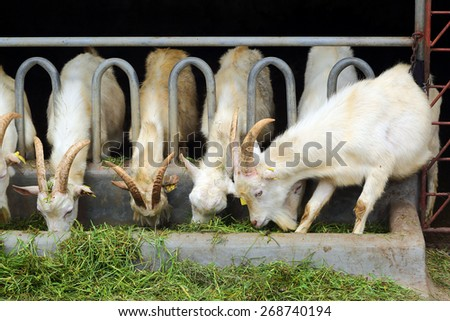 white goats eating grass on the farm