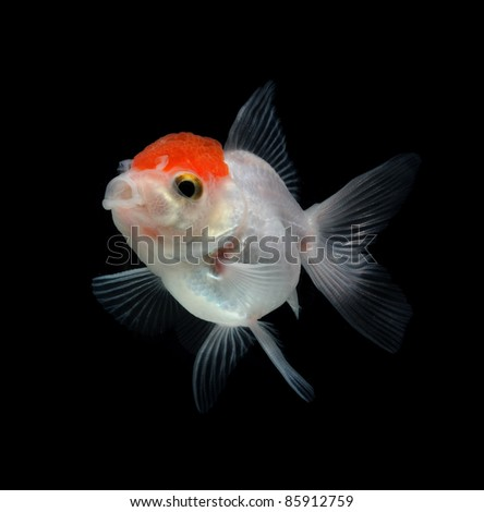 white goldfish on black background - stock photo