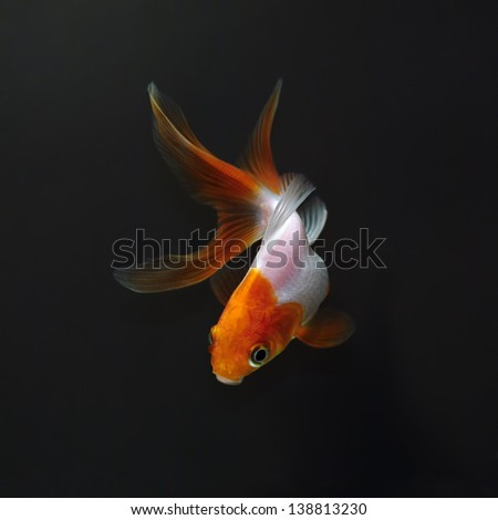 White goldfish with red head on a black background - stock photo