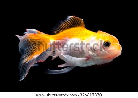 White goldfish with red head on a black background