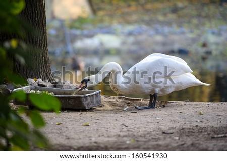 White goose eats food - stock photo