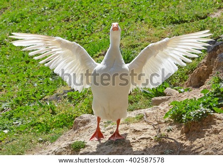 white goose flapping its wings - stock photo