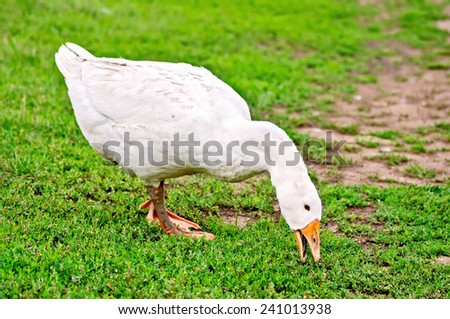 White goose grazing on green grass background