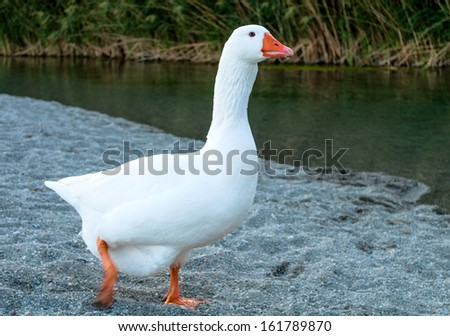 White Goose runs along the river bank