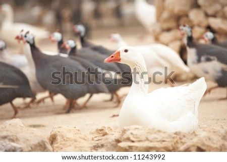 White goose sitting on the ground in front of other running fowl