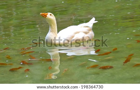 White goose swimming in a lake, and some orange fishes around her - stock photo