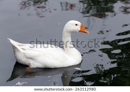 white goose swimming in lake - stock photo