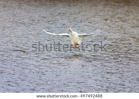 white goose takes off and gets to spread its wings over the blue water