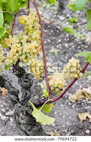 white grape in Sauternes Region, Aquitaine, France - stock photo