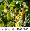 white grapes - stock photo