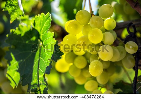 White grapes hanging from green vine with blurred vineyard background - stock photo