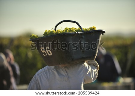 white grapes harvested for wine at vineyard - stock photo