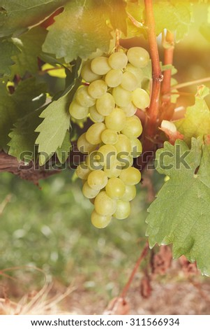 White grapes in bright sunshine. White wine grapes on the vine in sunlight. Soft and blur style for background. A photo with shallow depth of field    - stock photo