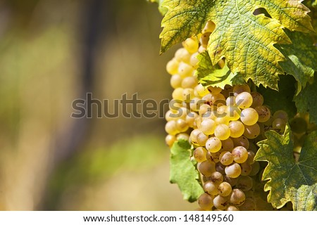 White grapes in sunlight at grapevine