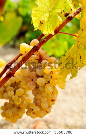 white grapes in the vineyard