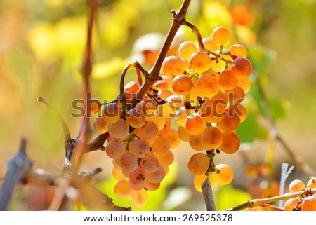 white grapes in the vineyard in autumn - stock photo