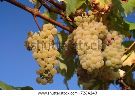 White grapes on the wine - stock photo