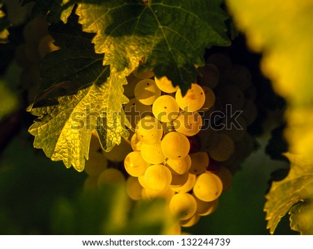White grapes ready to be harvested.