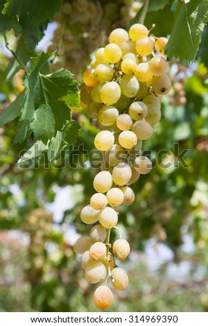 White grapes with green leaves on the vine. Fresh fruit in a natural environment - stock photo