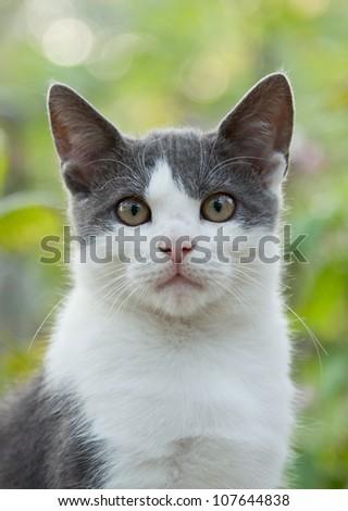 white gray cat stare - stock photo