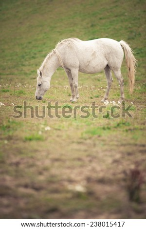 White grazing horse on the meadow