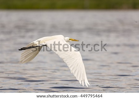 White, Great Egret in flight over the lake. - stock photo