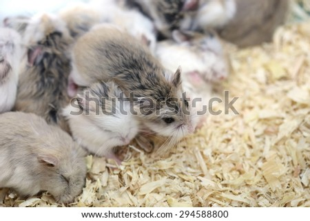 white grey mouse, group of mouses as a food for snakes in box, pet for laboratory
