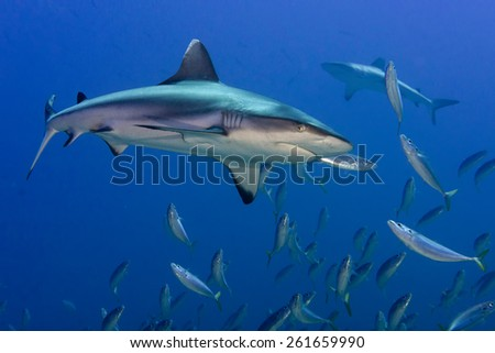 White grey shark jaws close up portrait while looking at you