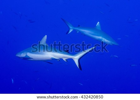 White grey shark jaws close up portrait while looking at you while diving in maldives - stock photo