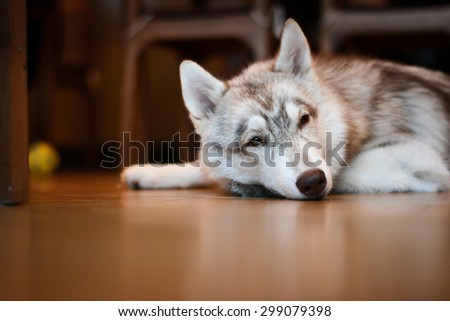 White grey Siberian husky puppy is crouching on wooden floor - stock photo