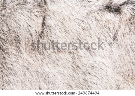 White Grey Wolf Fox Fur Natural, Animal Wildlife Concept and Style for Background, textures and wallpaper. / Close up Full Frame. - stock photo