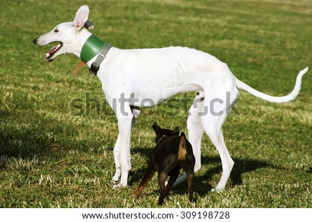 white greyhound  and black doggy  on the green grass in the park  - stock photo