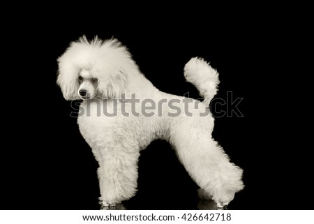 White Groomed Poodle Dog Standing and Waving Tail Isolated on Black Background - stock photo