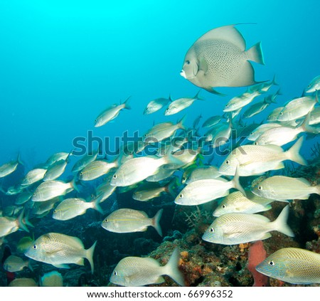 White grunts swimming over a reef, with a Gray Angelfish in the background.  Picture taken in Palm Beach County, Florida. - stock photo