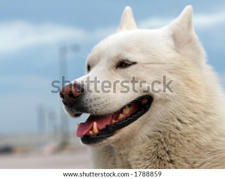 White-haired husky dog