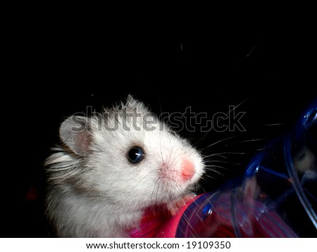 White hamster on a black background