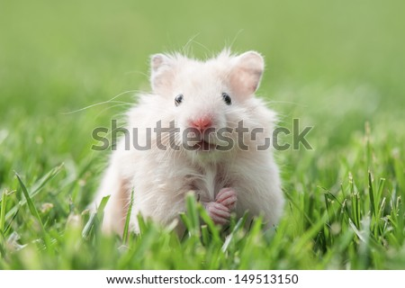 white hamster on lawn closeup - stock photo