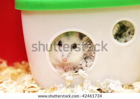 white  hamster sitting in a  house