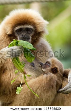 White Handed Gibbon baby feeding (Hylobates lar) - stock photo