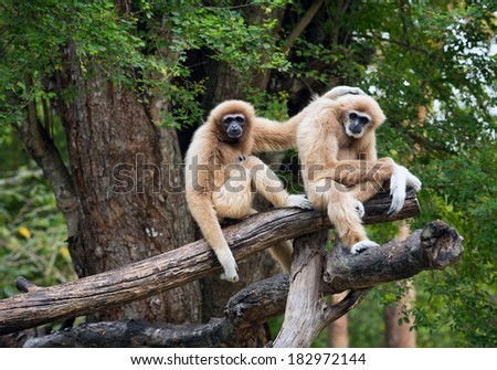 White handed Gibbon in the zoo. - stock photo