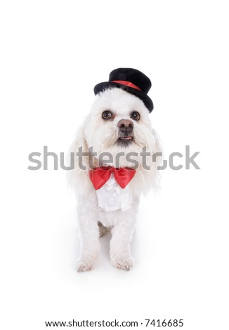 White Havanese dog dressed up formal in top hat and red bow tie  isolated on white