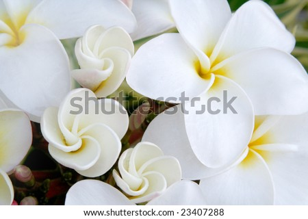 White Hawaiian Plumeria Flowers.  These are the flowers used to make leis.