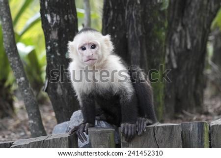 White-headed Capuchin Monkey (Cebus capucinus) - Roatan, Honduras - stock photo
