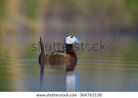 white headed duck White-headed Duck / Oxyura leucocephala - stock photo