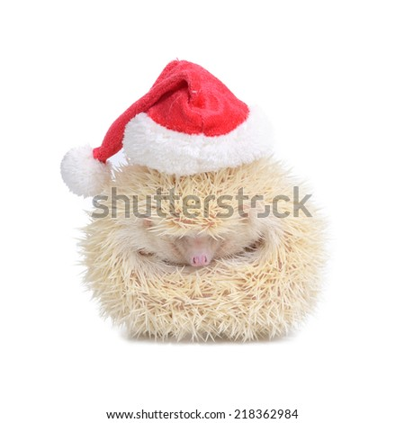 White hedgehog wearing red santa hat look like a little ball on white background. - stock photo