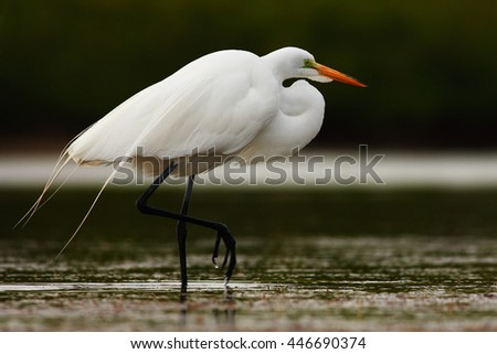 White heron, Great Egret, Egretta alba, standing in the water in the march. Beach in Florida, USA. Water bird with orange bill in the nature habitat. White animal in the water. - stock photo