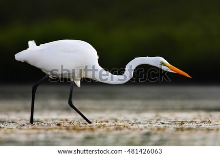 Great Egret On Prowl >> Yellow-billed Egret Stock Images, Royalty-Free Images & Vectors | Shutterstock
